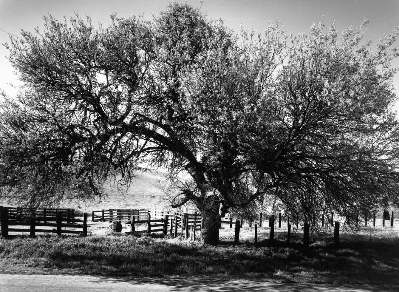 Oak & Cattle Fence #2