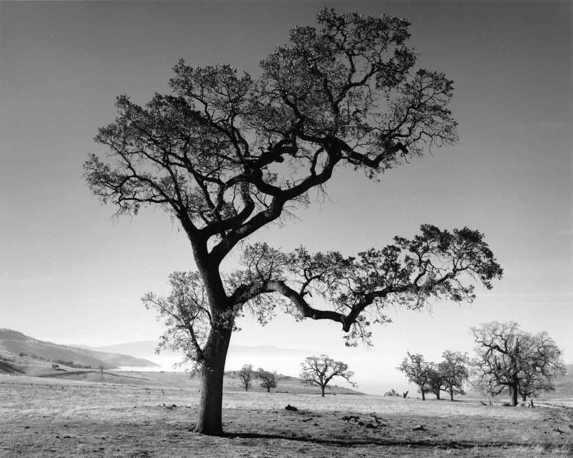Oak tree valley fog tehachapi mountains california 1989